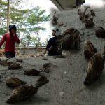 Banyak Burung Mati Mendadak di Gianyar, Bali